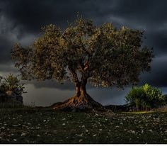 natgeo Instagram photo - Olive tree - Verdon Gorge, southern France