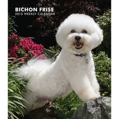 Bichon Frise Engagement Calendar: Always cheerful, always adorable, the curly-haired Bichon Frise is a happy and intelligent creature. The Bichon loves human company and attention. These merry-makers are very eager to please.  http://www.calendars.com/2013-Bichon-Frise-Calendars/Bichon-Frise-2013-Hardcover-Engagement-Calendar/prod201300004551/?categoryId=cat1270036=cat1270036#