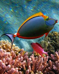 you can't make this stuff up: orange unicorn-fish oranzhevoshipaya fish - rhino (naso elegans) and sargotsentron- diadem, red sea Underwater Creatures, Underwater Life, Ocean Creatures, Underwater Photos, Colorful Fish, Tropical Fish, Tropical Paradise, Poisson Mandarin, Unicorn Fish