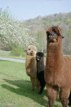 trio of alpacas - Farm Animals, Animals And Pets, Funny Animals, Cute Animals, Alpacas, Llama Pictures, Animal Pictures, Beautiful Creatures, Animals Beautiful