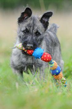 Bouvier des Ardennes Puppy by Heike Klett, via 500px