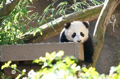 Panda on a ledge