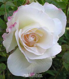 Charles Aznavour ~ Floribunda Rose
