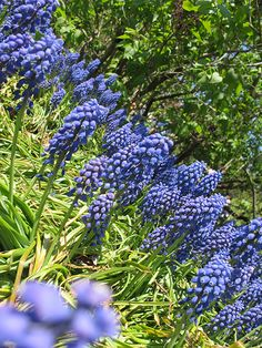 Grape Hyacinth or Muscari #grapehyacinth #muscari #bulb #flower #bulb #spring