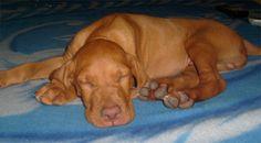 My vizsla baby, Frankie from Hungary :)