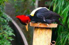woodpecker - Temaiken Zoo Buenos AIres