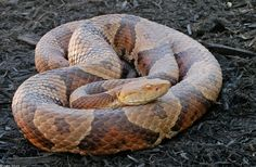 Northern Copperhead vs common non-venomous snakes
