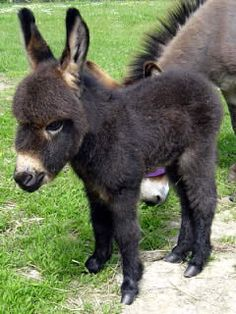 Miniature Donkey (some day, when i have the space, I'd love to own miniature donkeys, horses and goats)
