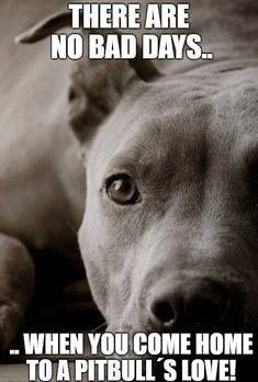 Uplifting So You Want A American Pit Bull Terrier Ideas. Fabulous So You Want A American Pit Bull Terrier Ideas. Dogs Tumblr, Pitbull Images, American Pitbull, No Bad Days, Pit Bull Love, Bull Terrier Dog, Dog Quotes, Qoutes, Training Your Dog
