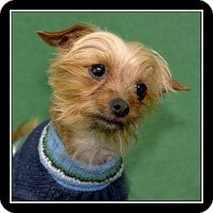 Costa Mesa, CA - Yorkie, Yorkshire Terrier Mix. Meet Romeo, a dog for adoption. http://www.adoptapet.com/pet/12314475-costa-mesa-california-yorkie-yorkshire-terrier-mix