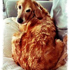 Golden retrievers love my dogs !