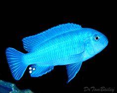 Blue Pindani Mbuna Cichlid, Featured item 10/04. #blue #pindani #mbuna #cichlid #petfish #fish #aquarium #freshwater #featureditem