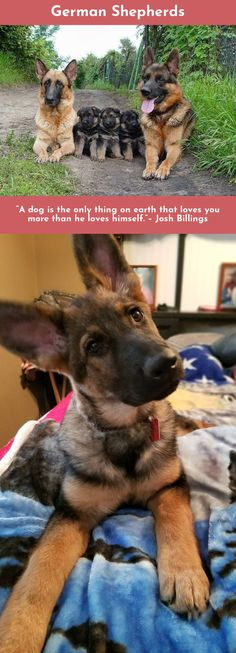 Simply click the link to learn more German Shepherds Click the link for more information.