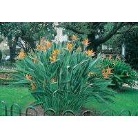 Strelitzia. An evergreen perennial that forms a clump of stout stems to 1.2 m high and wide. The stems are blue green with a leaf on the tip. Large, showy and unusually shaped, mostly orange flowers are produced in winter and spring. Mandelas Gold has yellow/gold flowers.