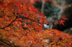 """Red Leaves in Japan. There are in the park named """"Shinjuku Gyoen"""" at Tokyo."""