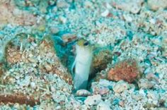 Reef Fish Identification Guide - 20 Common Species of Florida and the Caribbean: Yellowhead Jawfish