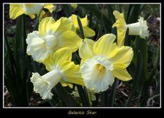 daffodil galactic star - Google Search