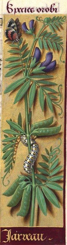 Jarveau [Jarreau?] - Species orobi (Probablement le Lathyrus Cicera L. = jarrose, jarrat, petite gesse) -- Grandes Heures d'Anne de Bretagne, BNF, Ms Latin 9474, 1503-1508, f°79r