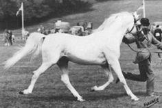 HANIF (*Silver Vanity x Sirella, by Dargee) 1962-1993 grey stallion