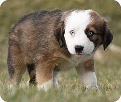 3/16/16 Mechanicsburg, PA - Bernese Mountain Dog/Australian Shepherd Mix. Meet Ocean, a puppy for adoption. http://www.adoptapet.com/pet/15108435-mechanicsburg-pennsylvania-bernese-mountain-dog-mix
