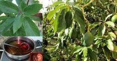 1 sola hoja de aguacate hervido hace el milagro! - MUNDO RECETAS Diet Tips, Home Remedies, Indoor Plants, Health And Beauty, Diabetes, Cactus, Fruit, Nature, Empanada