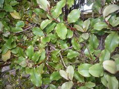 Mapou, or Red Matipo (Myrsine australis) A hardy tree, resistant to wind. Easily grown from seed. Wavy edged leaves, small red blotches, red stems. Maori medicinal plant, leaves boiled to ease toothache. Inconspicuous flowers, small black fruit on female trees in summer. Attracts birds.
