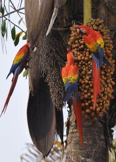 "b>Scarlet Macaw</b> ""Guacamaya Roja"" <em>Ara macao</em> Near ..."