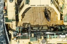 #BREAKING: Sea Shepherd Catches Japanese Poaching Fleet with Dead Whale in Australian Sanctuary.  After five weeks patrolling the Southern Ocean, The MV Steve Irwin's helicopter has located the Japanese whale poachers' factory whaling vessel in the Australian Whale Sanctuary with a dead minke whale on its flensing deck, the first to be documented since the International Court of Justice ruled against their Antarctic whaling operations in 2014.