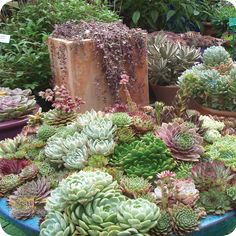I love succulents - they are very forgiving of my not so green thumb. Read more about caring for succulents #searle.com.au