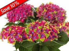 Hydrangea Pistachio has tie dyed flowers & REBLOOMS on this flowering shrub.