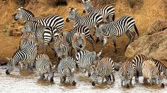 #1673983, zebra category - widescreen backgrounds zebra