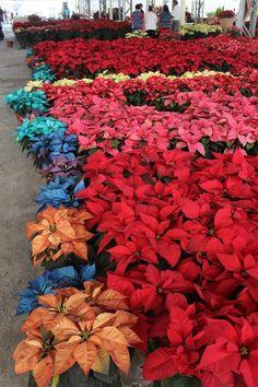 25 de noviembre inicia la 15ª Feria de la nochebuena en Atlixco