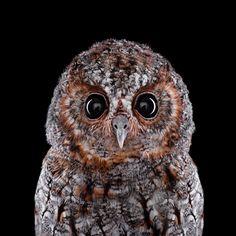 Flammulated Owl Audubon.org