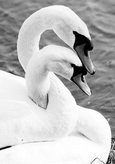 Oooh swan love <3 <3 <3