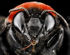 Macro Bee Portraits by Sam Droege and the USGS Bee Inventory and Monitoring Lab macro insects bees
