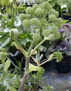 Angelica taiwaniana Celery, Seeds, Vegetables, Plants, Vegetable Recipes, Plant, Veggies, Planets