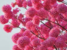 Pink Tabebuia (Tabebuia avellanedae) in full bloom by PL Tandon (Thank you friends for 740K + views) on Flickr.