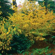 Lindera Benzoin-spicebush;5x8; sun-pt sun; tolerates wet soils; yellow fall foliage (pictured); host plant to black and blue swallowtail butterflies.