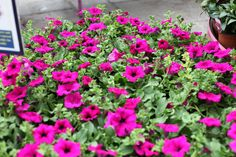 Surfinia make for great summer colour, don't forget to water daily and feed weekly! Fine Gardening, Colorful Garden, Goods And Services, Summer Colors, Garden Furniture, Cork, Don't Forget, June, Colour