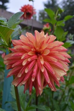 Dahlia 'Fidalgo Julie'                                                                                                                                                                                 More