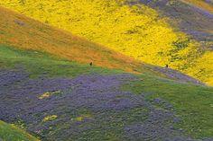 米カリフォルニア州タフト近くにあるカリッツォプレイン国定公園で、黄、オレンジ、紫の野生の花々に覆われた丘陵(2017年4月6日撮影)。(c)AFP=時事/AFPBB News - AFPBB News 提供