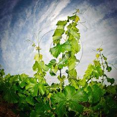Vineyard in the Cotes de Duras, Lot et Garonne, Aquitaine, Franc