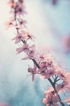 Gorgeous pink cherry blossoms on a teal background