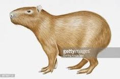 Image result for deutschland coloring capybara page