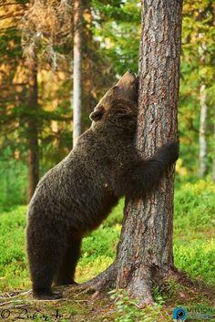 Yummy bears do bareback