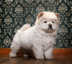 chow dog photo | chow chow puppy image tags animal baseboard chow chow cream creature ...