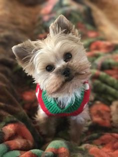 My Little Yorkie named Twinkie all dressed up for Christmas! #YorkshireTerrier
