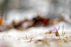 Crocus on winter - null