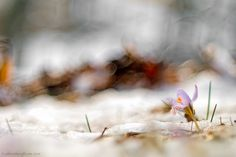 Crocus on winter - null