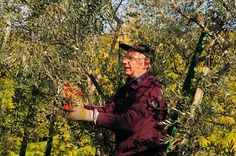 Olive picking at Villa Rosy, a charming agriturismo in Umbria